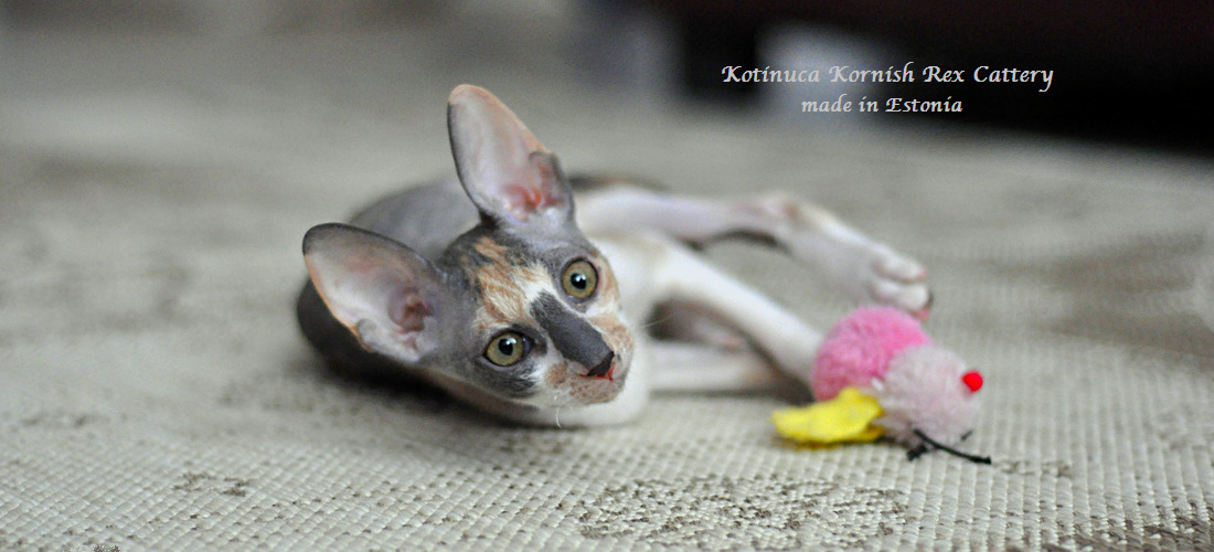 LV*Kotinuca Cornish Rex